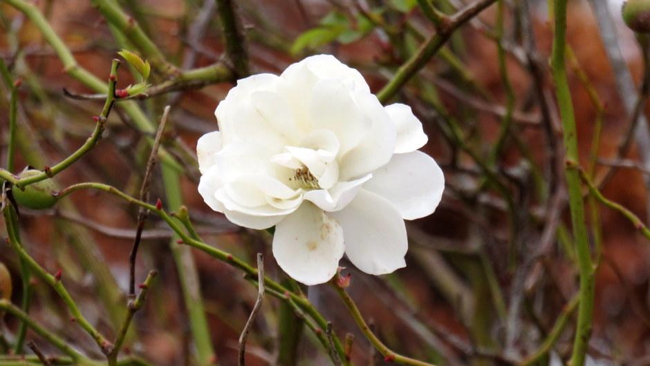Het witte roosje
