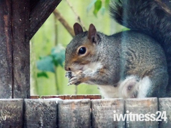 A GREY SQUIRREL AROUND THE GARDEN