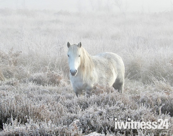 Pony on a frosty foggy roydon common