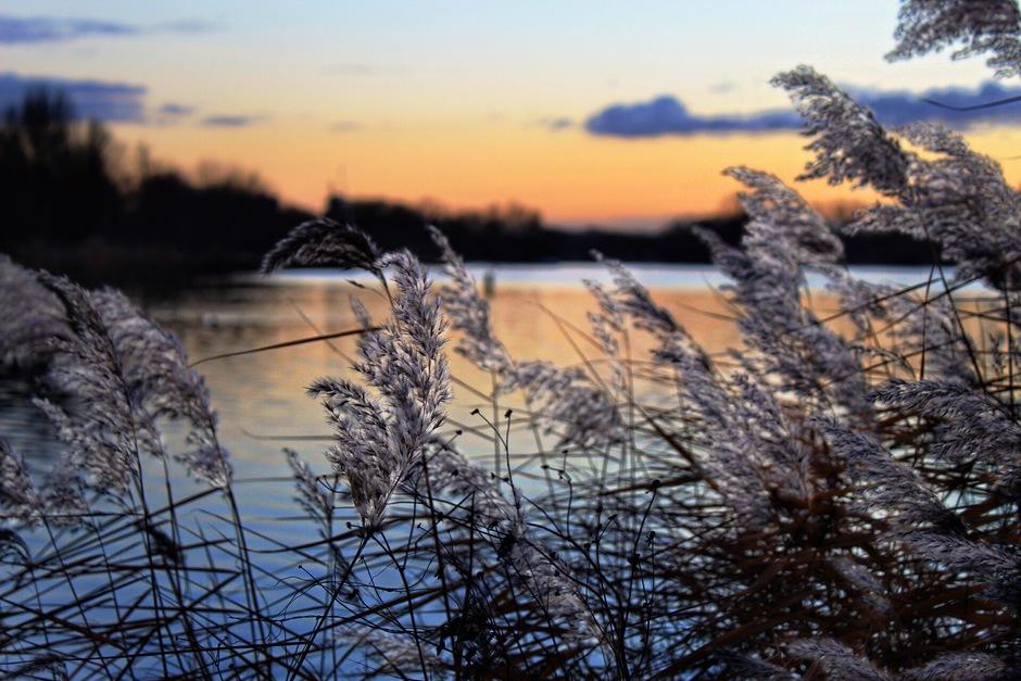 Rietpluimen bij zonsondergang