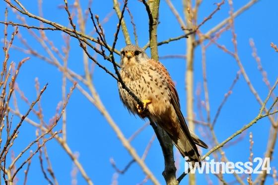 Winter hunting: a beautiful kestrel on Marriott's Way