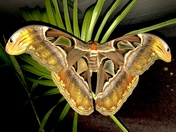 The biggest Moth in the world. The giant Atlas silk moth.