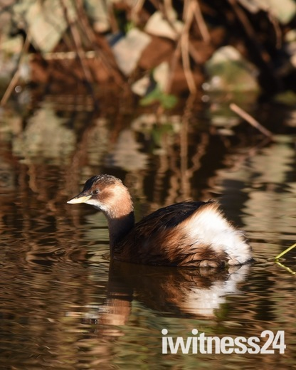 A little grebe on the river otter