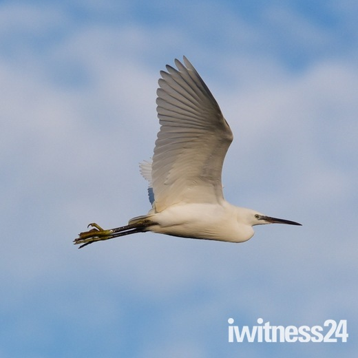 A little egret fly over