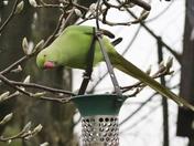 Ring Necked Parakeet v Grey Squirrel