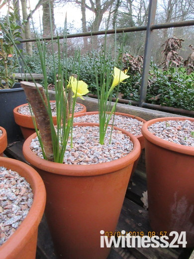 Daffodils seen starting to bloom in early January