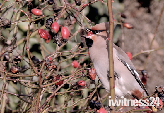 Waxwing Suffolk.