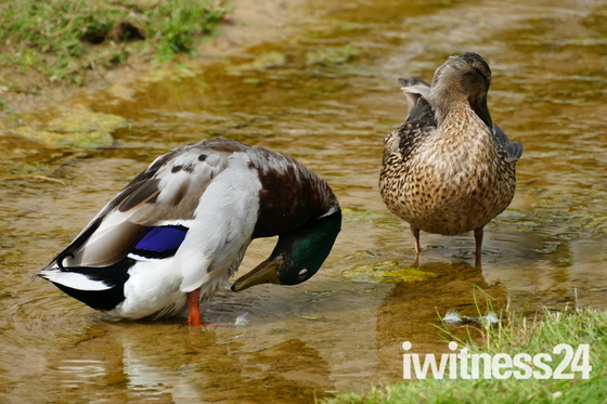 WATER, DUCKS COOLING OFF