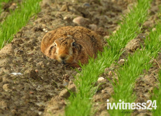 Hunkering  down Hare