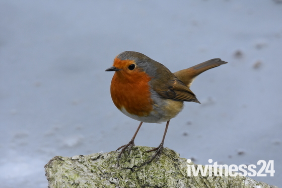 Little red breast