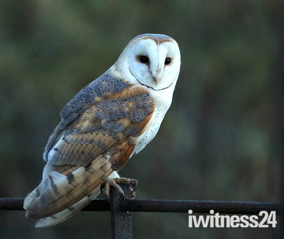 Barn Owl female.