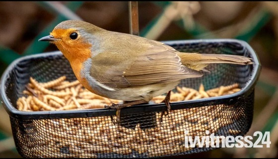 Robin eating meal worms