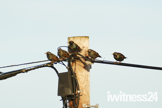 STARLINGS IN THE SUN