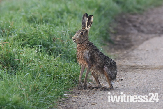 Wet looking Hare.