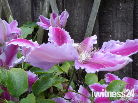 A CLEMATUS FLOWER IN MACRO