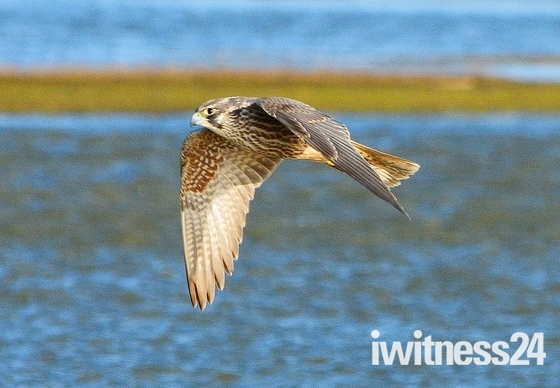 peregrine falcon hunting over nwt cley marsh.