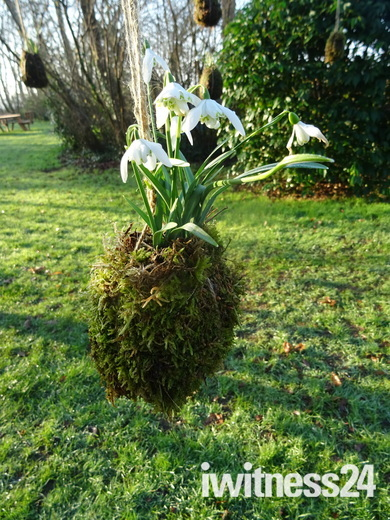Snowdrops in flower on the Japanese Kokedama at A La Ronde