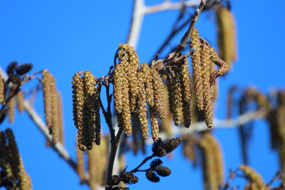 Verse Hazelaar boom