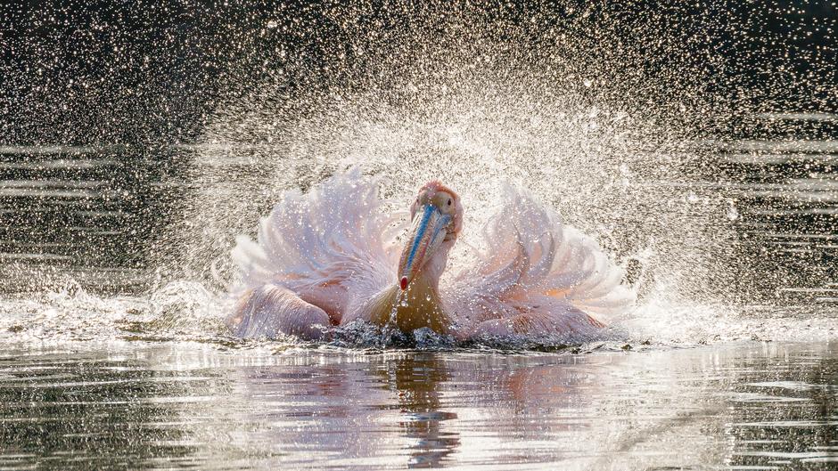 Roze pelikaan ontmoet het vroege voorjaar!