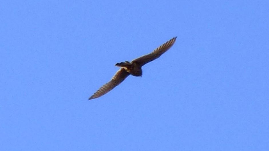 Tegen een strak blauwe lucht met de zon op de vleugels.