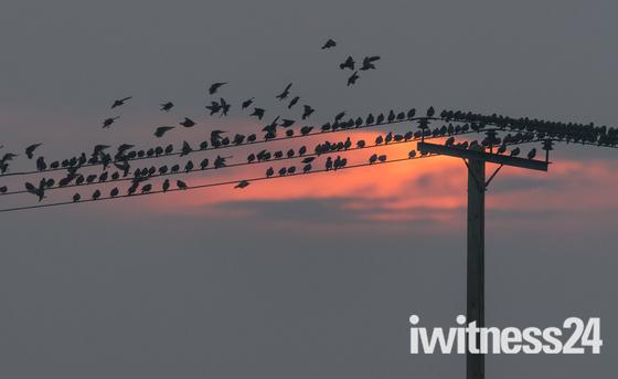 Starlings at dawn
