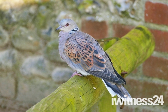 TURTLE DOVE AT PENSTHORPE NATURAL PARK