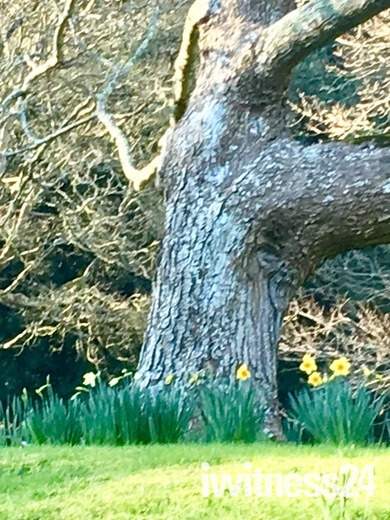 Spring has sprung beautiful daffodils
