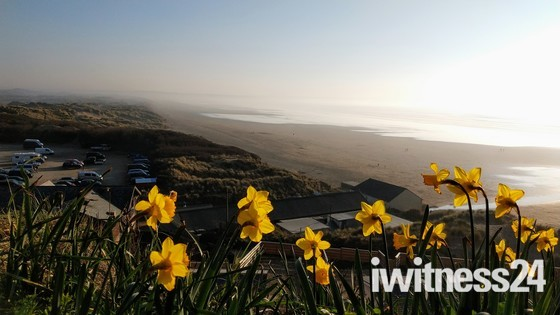Daffodils overlooking Saunton Sands beach