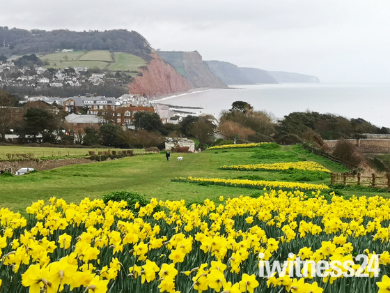 Daffodils in Sidmouth