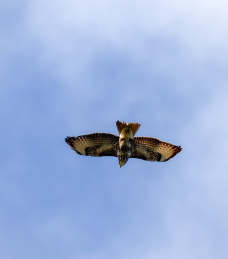 Buzzards flying over Harold hill