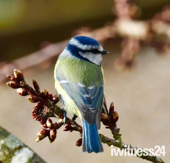 Little Boy Blue  - bright little bluetit
