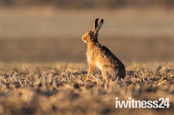 Wonderful Hares
