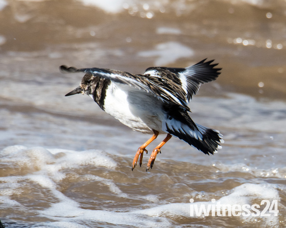 Turnstone on the beach