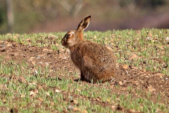Hare at Brickling