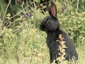 Little black wild Rabbit.