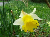Spring is still here with daffodils still in flower.