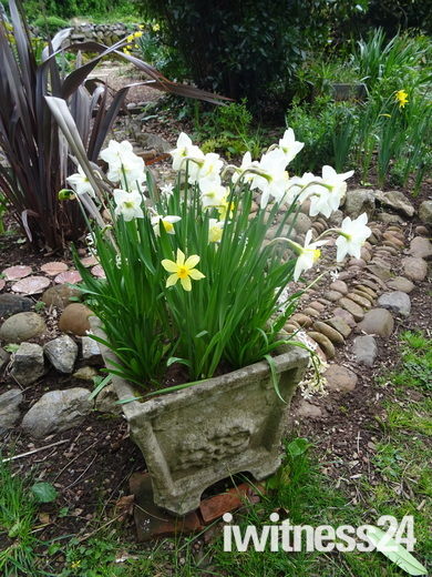 Daffodils in a garden pot.