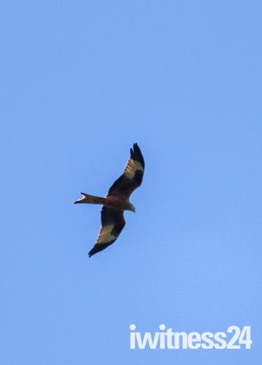 Red kite flying over Harold hill