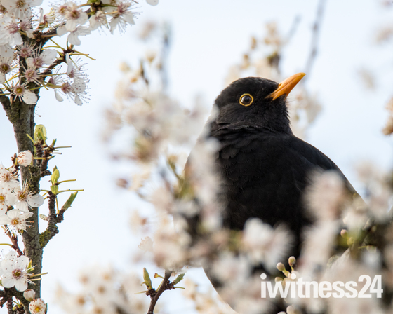 Blackbird in white blossom