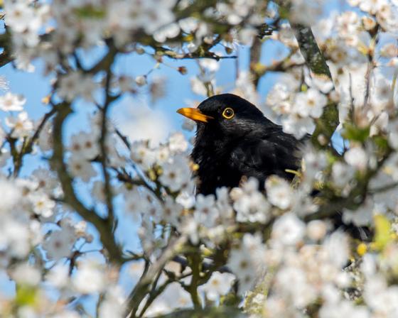 Blackbird in white blossom