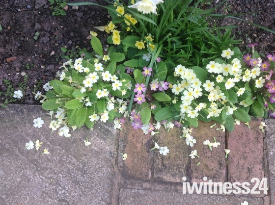 Not so good primroses