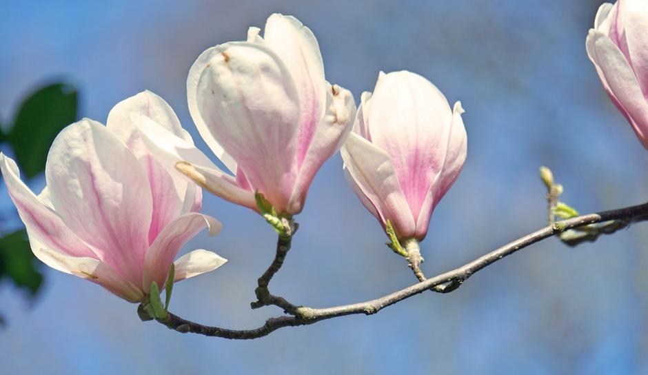 De Magnolia tegen een blauwe  lucht vandaag. 18 graden!