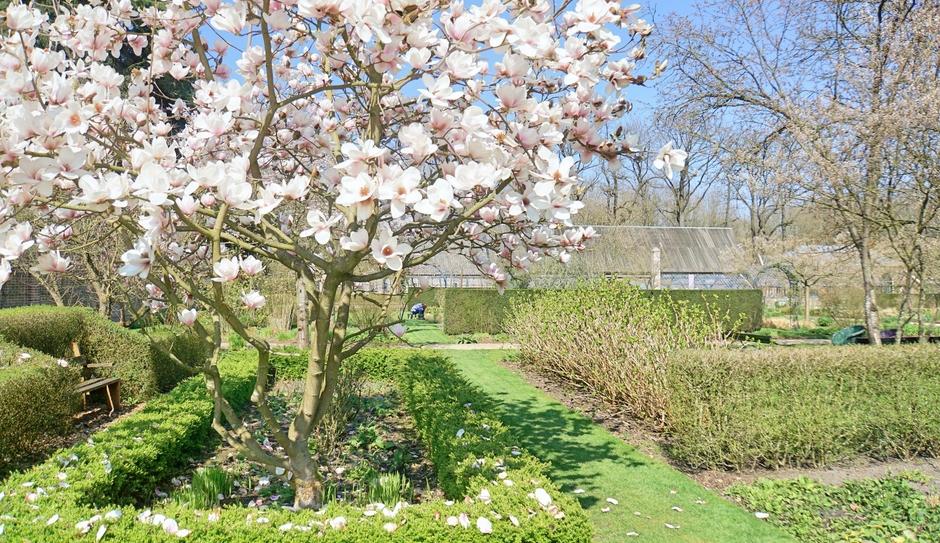 Magnolia vroeg in bloei dit jaar.Laat haar blad inmiddels vallen