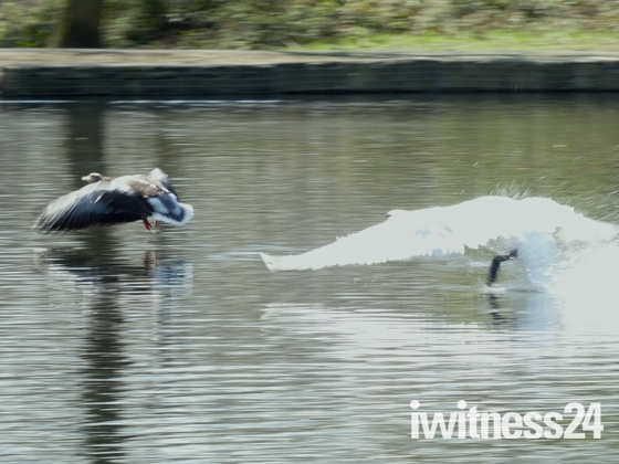 Swan attacking Egyption goose