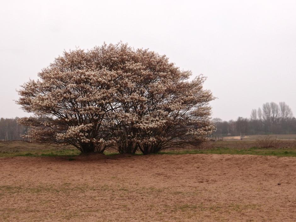 06-04-2019 Bloeiende krentenboom