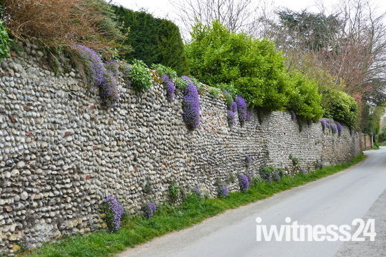 AUBRIETIA TRAILING FROM THE WALL