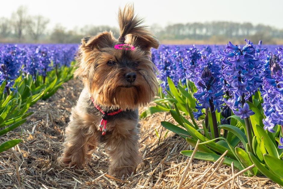 Ons meisje tussen hyacinten