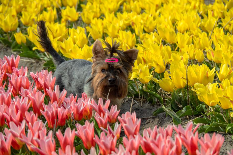 Ons meisje tussen tulpen
