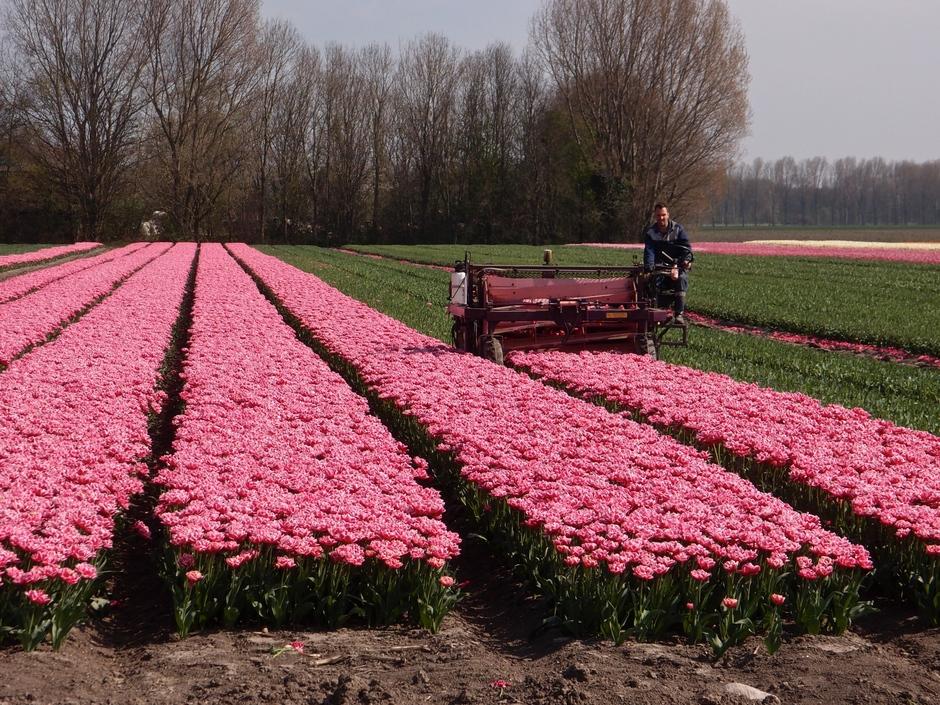 09-04-2019 Tulpen worden getopt