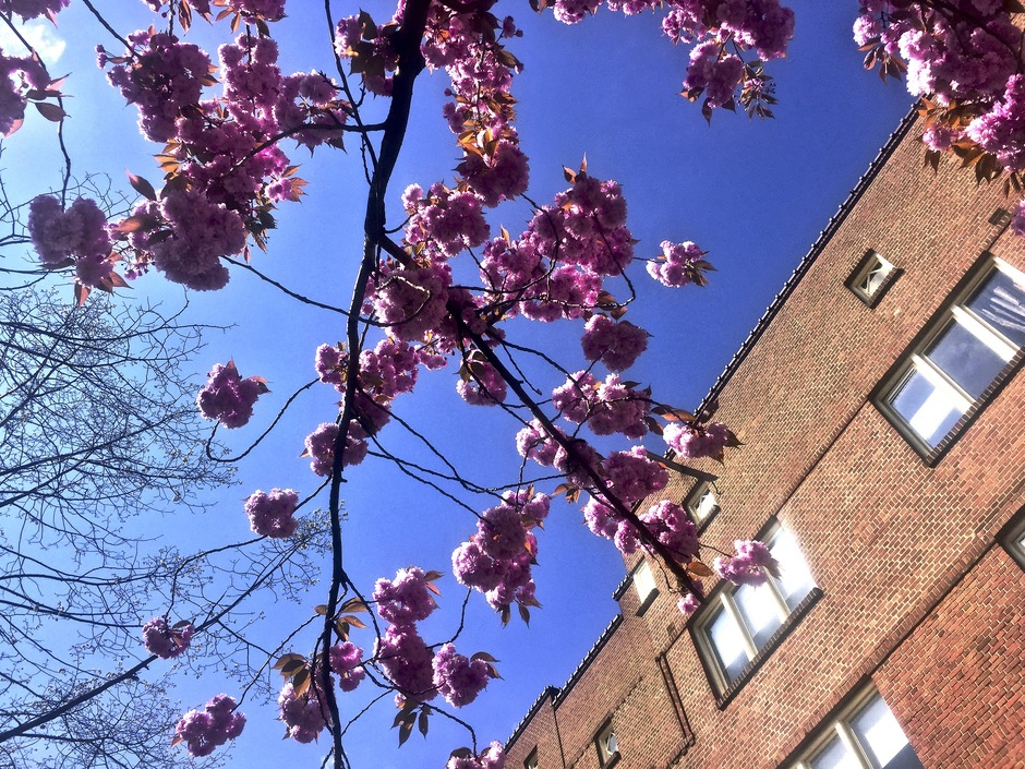 Bloesembloei in Amsterdam